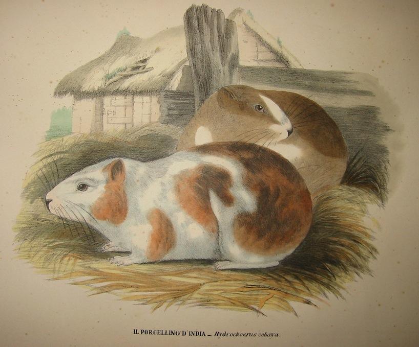 Boschi Giovanni Il porcellino d'India 1863 Napoli