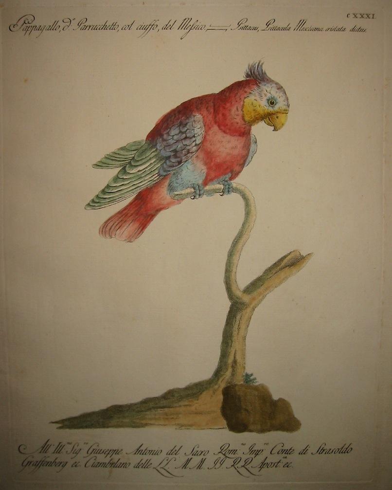 Manetti Saverio (1723-1785) Pappagallo detto Parrucchetto, col ciuffo, del Messico 1777 Firenze