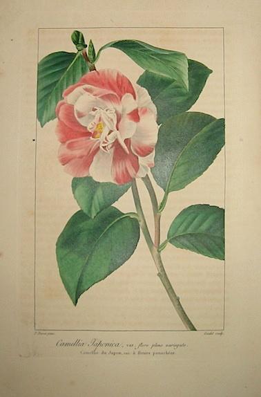 Bessa Pancrace (1771-1846) Camellia Japonica, var. flore pleno variegato. Camellie du Japon, var. à fleurs panachées 1828 Bruxelles