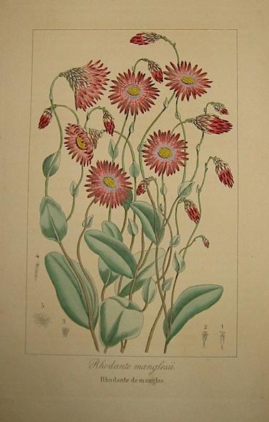 Bessa Pancrace (1771-1846) Rhodante manglesii. Rhodante de mangles 1828 Bruxelles