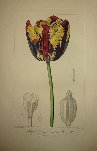 Bessa Pancrace (1771-1846) Tulipa Gesneriana, var. Henry IV. Tulipe de Gesner 1828 Bruxelles