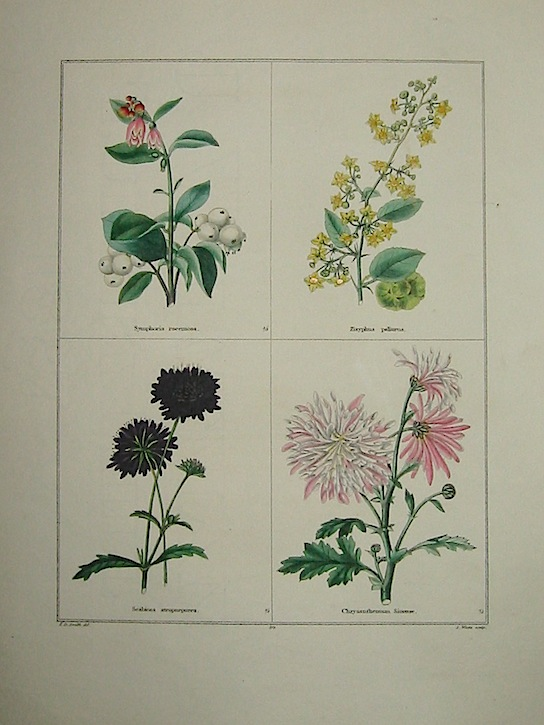 Maund Benjamin Symphoria racemosa. Zizyphus paliurus. Scabiosa atropurpurea. Chrysanthemum Sinense. 1827 Londra