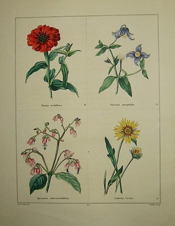 Maund Benjamin Zinnia multiflora. Clematis integrifolia. Apocynum androsaemifolium. Galardia bicolor. 1827 Londra