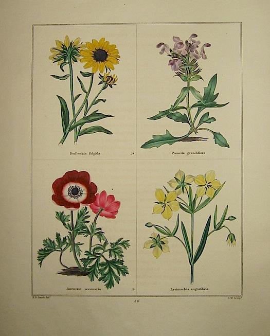 Maund Benjamin Rudbeckia fulgida. Prunella grandiflora. Anemone coronaria. Lysimachia angustifolia. 1827 Londra