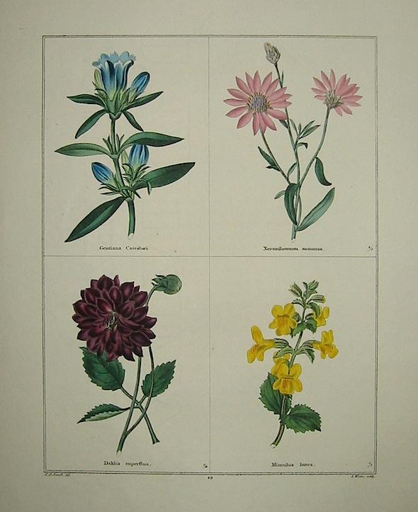 Maund Benjamin Gentiana Catesbaei. Xeranthemum annuum. Dahlia superflua. Mimulus Intea. 1827 Londra