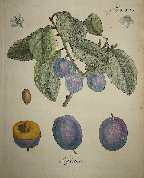 Duhamel du Monceau Henri Louis (1700-1782) Hyacinte 1777 Norimberga