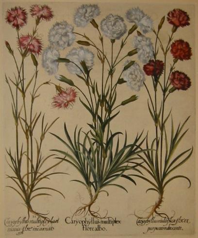 Besler Basilius (1561-1629) Caryophyllus multiplex flore albo... 1613 Norimberga