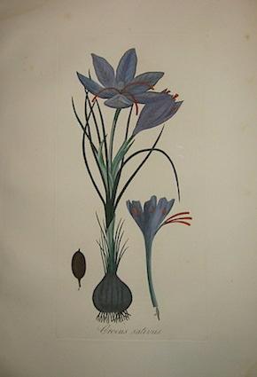 Tenore V. - Pasquale G.A. Crocus sativus 1872 Napoli
