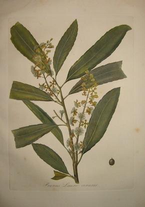 Tenore V. - Pasquale G.A. Prunus Lauro-cerasus 1872 Napoli