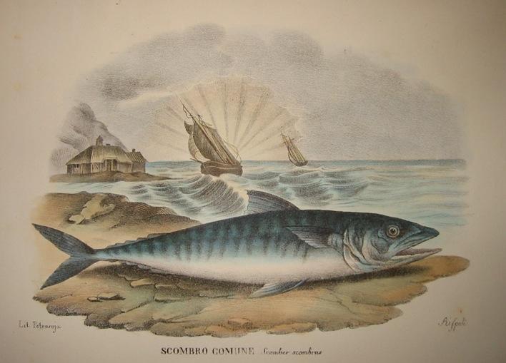 Boschi Giovanni Sgombro comune 1863 Napoli